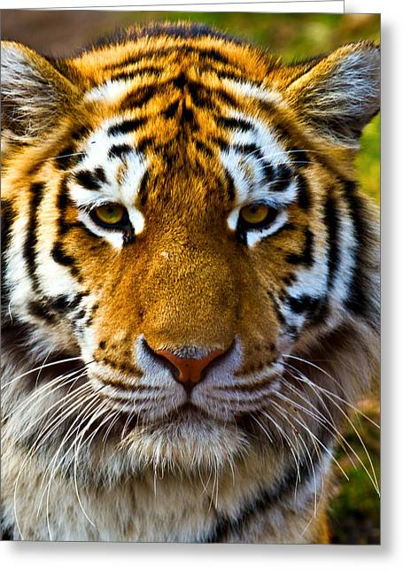 Wildcat Greeting Cards - Tiger Greeting Card by Gert Lavsen