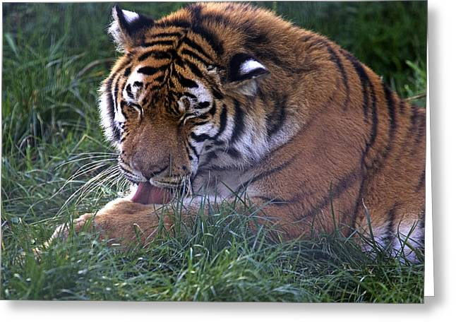 Panthera Tigris Greeting Cards - Tiger Grooming Greeting Card by Denise Swanson