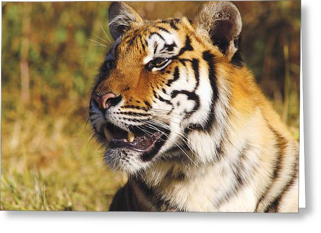 Fur Stripes Greeting Cards - Tiger Head Shot Greeting Card by John Pitcher