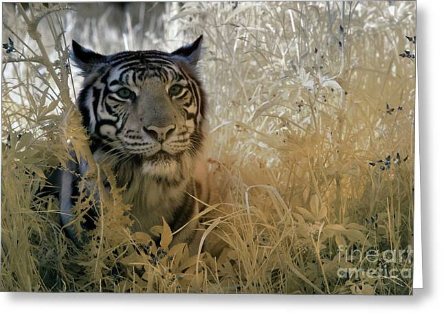 Infrared Photography Greeting Cards - Tiger in Infrared Greeting Card by Keith Kapple