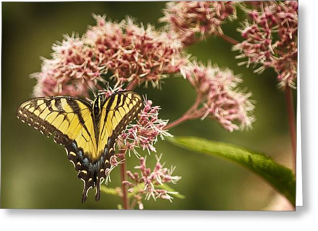 Common Tiger Butterfly Greeting Cards - Tiger Greeting Card by Jack R Perry