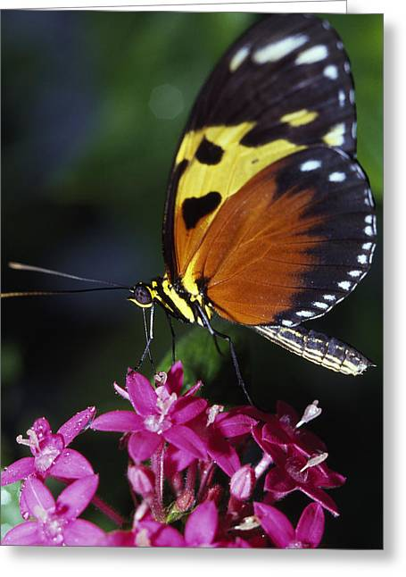 Lepidopterist Greeting Cards - Tiger Longwing Butterfly Greeting Card by Natural Selection Ralph Curtin