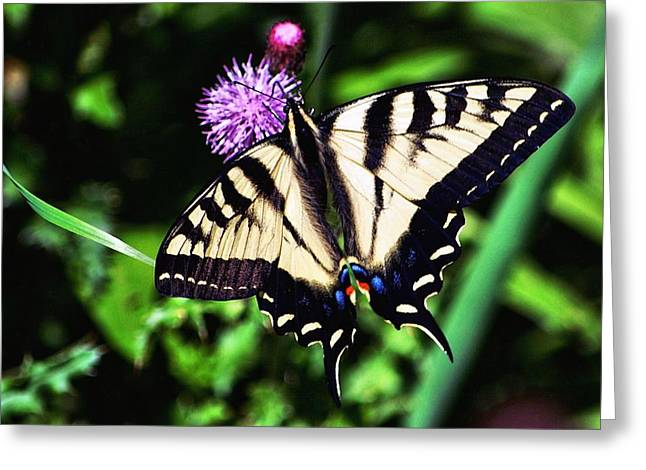 Tiger Swallowtail Digital Art Greeting Cards - Tiger on a Thistle Greeting Card by Don Mann