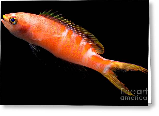 Reef Fish Greeting Cards - Tiger Queen Anthias Greeting Card by Danté Fenolio