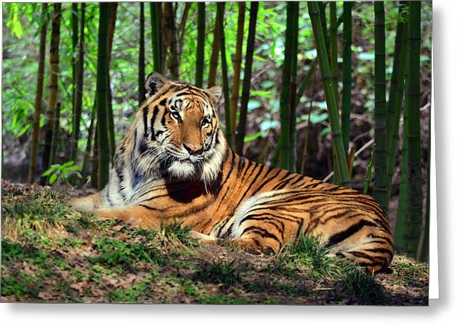 Tiger Rest And Bamboo Greeting Card by Sandi OReilly