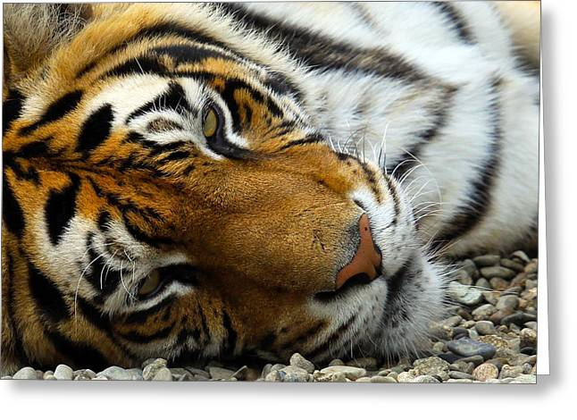 Growling Greeting Cards - Tiger Sleep Greeting Card by Steve McKinzie