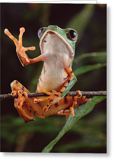 Eye Gestures Greeting Cards - Tiger Striped Leaf Frog Waving Greeting Card by Claus Meyer