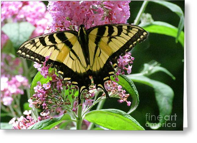 Tiger Swallowtail Butterfly Greeting Card by Randi Shenkman