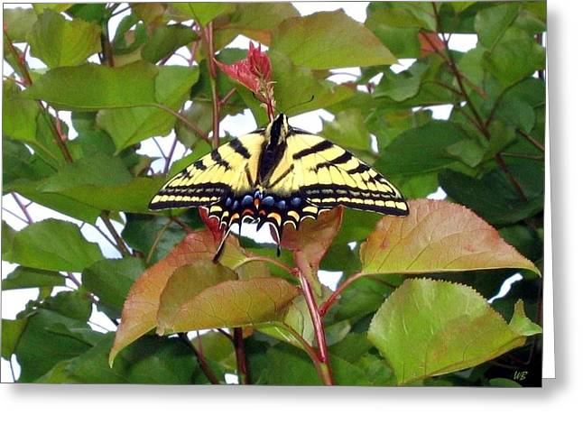 Apricot Greeting Cards - Tiger Swallowtail Butterfly Greeting Card by Will Borden