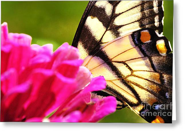 Tiger Swallowtail Greeting Cards - Tiger Swallowtail on Zinnia Greeting Card by Thomas R Fletcher