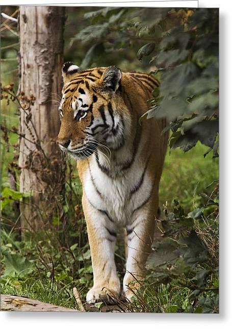 Panthera Tigris Greeting Cards - Tiger Walking Greeting Card by Denise Swanson