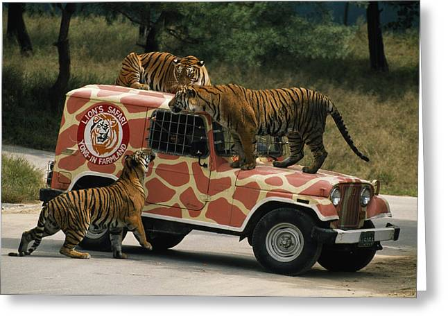 Seoul Greeting Cards - Tigers Around And Atop A Jeep Greeting Card by Paul Chesley