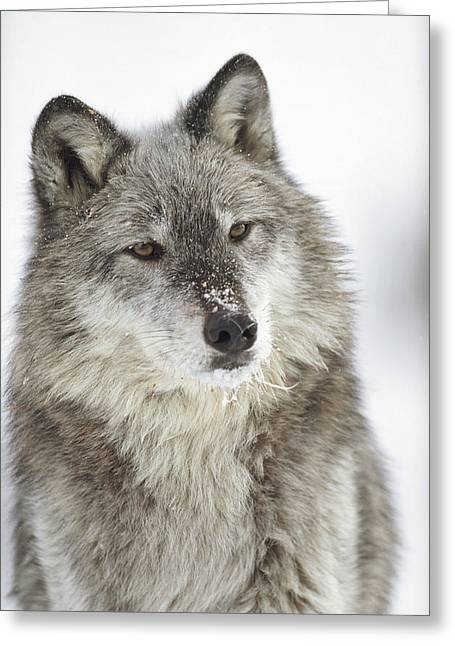 Wolf Head Greeting Cards - Timber Wolf Canis Lupus Portrait Greeting Card by Tim Fitzharris