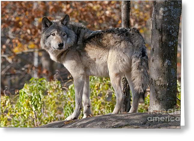 Black. Timber Wolf Photography Greeting Cards - Timber Wolf In Autumn Greeting Card by Michael Cummings