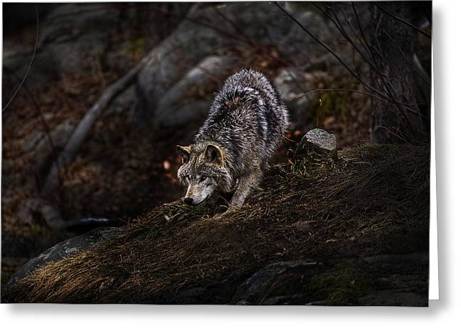 Timber Wolf Pics Greeting Cards - Timber Wolf on Hill Greeting Card by Michael Cummings
