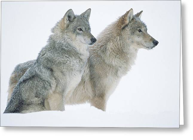 Wolf Head Greeting Cards - Timber Wolf Portrait Of Pair Sitting Greeting Card by Tim Fitzharris