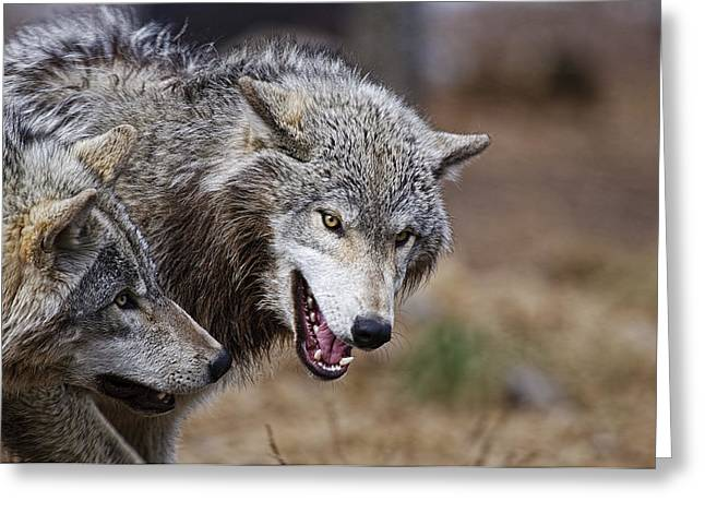 Animals Greeting Cards - Timber Wolves Greeting Card by Michael Cummings