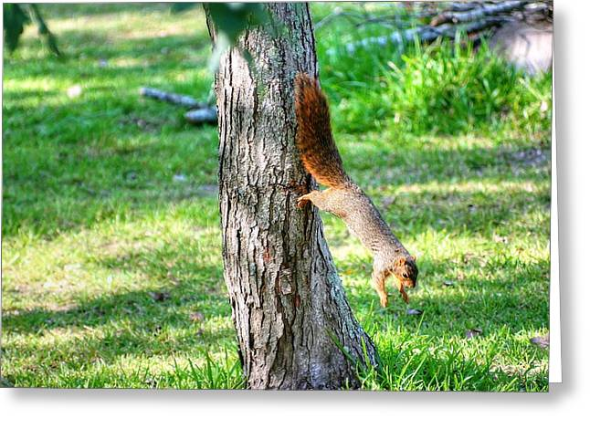 Fox Squirrel Greeting Cards - Time To Get On The Ground Greeting Card by Ester  Rogers