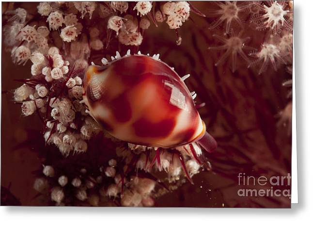Tiny Cowrie Shell On Dendronephtya Soft Greeting Card by Mathieu Meur