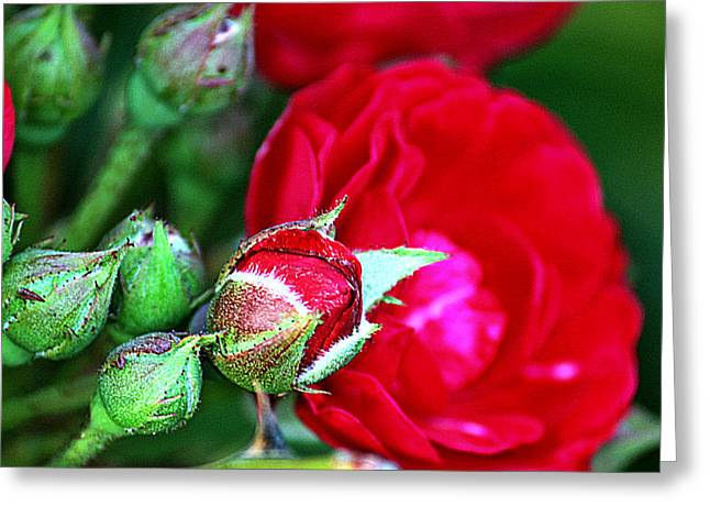 Kayecee Spain Greeting Cards - Tiny Red Rosebuds Greeting Card by KayeCee Spain