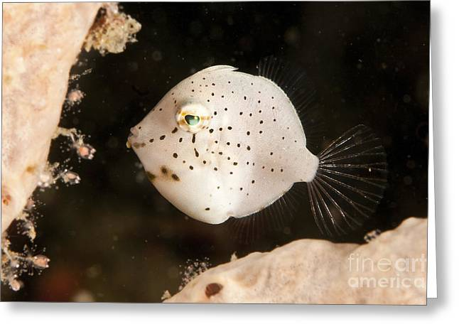 Tiny White Filefish With Small Black Greeting Card by Mathieu Meur