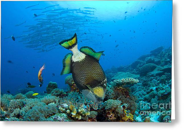 Fish Scales Greeting Cards - Titan Triggerfish Picking At Coral Greeting Card by Steve Jones