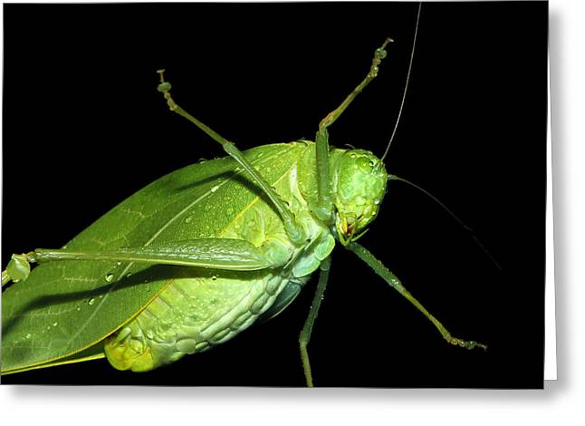 Katydid Greeting Cards - To An Insect Pretty Katydid Greeting Card by Tracie Kaska