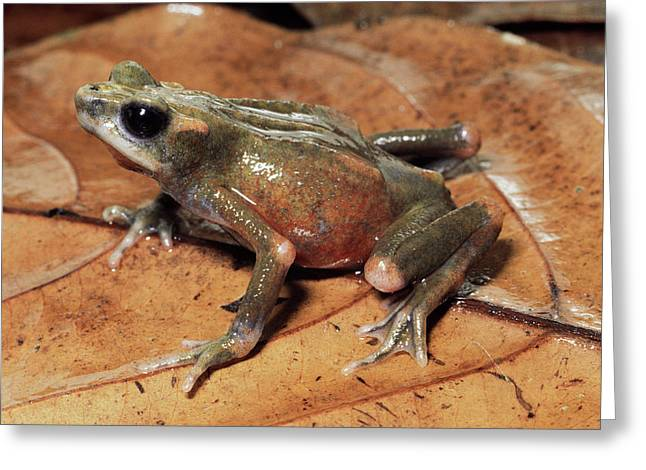 Toad Atelopus Senex On A Leaf Greeting Card by Michael & Patricia Fogden