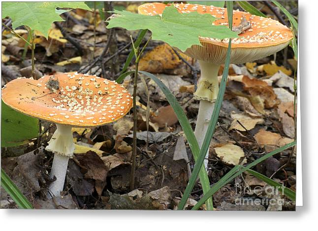 Toadstools Pyrography Greeting Cards - Toadstool Fly Agaric Greeting Card by Andrey Ushakov