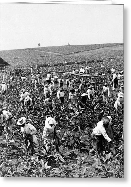 Slaves Photographs Greeting Cards - Tobacco Field in Montpelier - Jamaica - c 1900 Greeting Card by International  Images