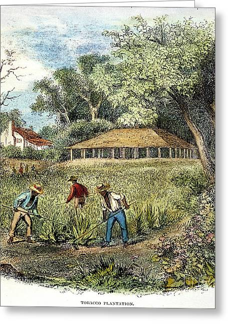 Southeastern Greeting Cards - Tobacco Plantation Greeting Card by Granger