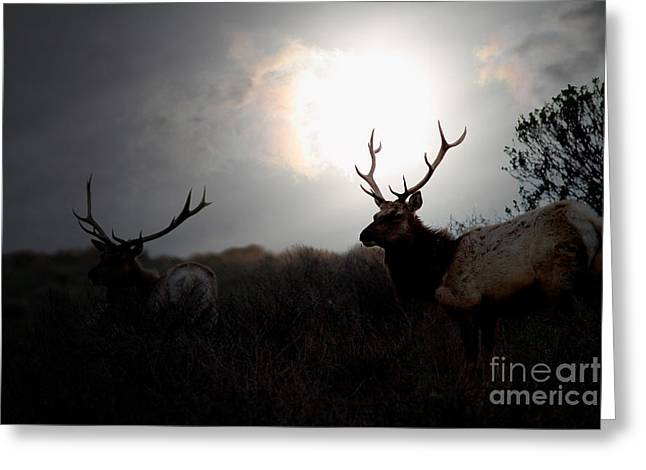 Bayarea Greeting Cards - Tomales Bay California Tule Elks At Sunrise . 7D4402 Greeting Card by Wingsdomain Art and Photography