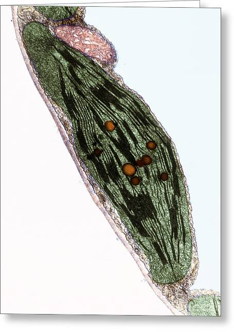Chloroplast Greeting Cards - Tomato Chloroplast Greeting Card by Science Source