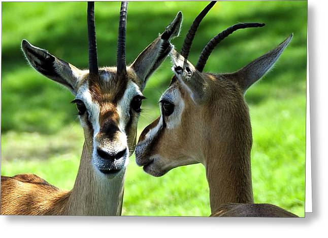 Gazelle Greeting Cards - Tommy Talk Greeting Card by David Lee Thompson