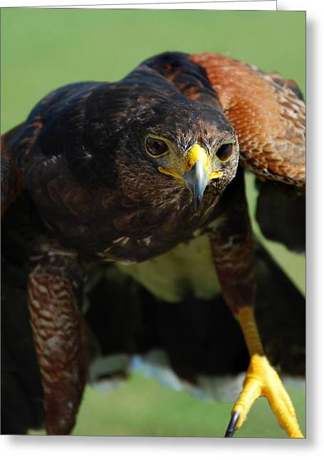 Photos Of Birds Greeting Cards - Top Raptor Greeting Card by Skip Willits