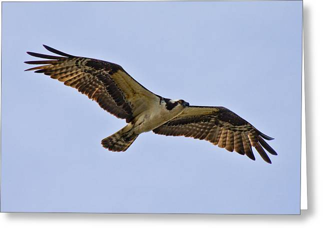 Topsail Island Greeting Cards - Topsail Osprey Greeting Card by Betsy C  Knapp