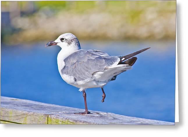 Topsail Island Greeting Cards - Topsail Seagull Greeting Card by Betsy A  Cutler