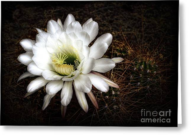 Torch Cactus Greeting Cards - Torch Cactus - Echinopsis Candicans Greeting Card by Saija  Lehtonen