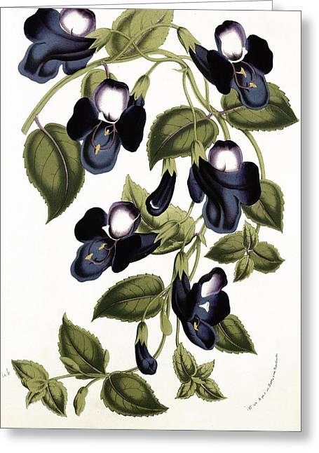 Stamen Greeting Cards - Torenia Asiatica pulcherrima Greeting Card by Louis van Houtte