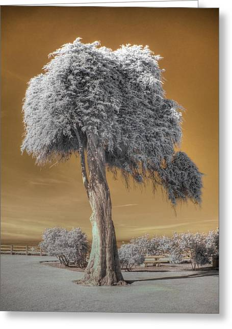 Process Greeting Cards - Torrey Pine Greeting Card by Jane Linders