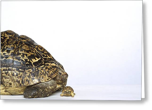 Innocence Baby. Simplicity Greeting Cards - Tortoise Greeting Card by Shaun Higson