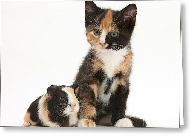 Cavy Greeting Cards - Tortoiseshell Kitten With Baby Greeting Card by Mark Taylor