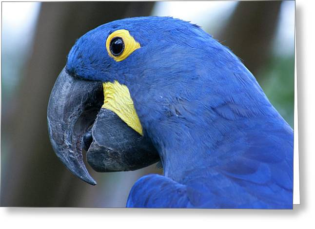 Blue Macaws Greeting Cards - Totally Blue  Greeting Card by Douglas Barnard