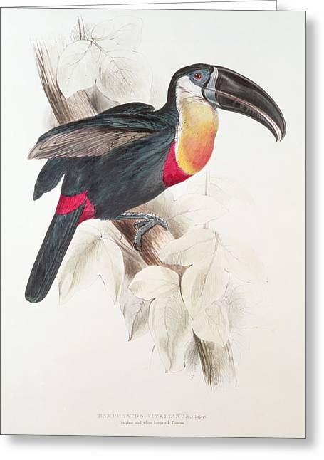 Perching Greeting Cards - Toucan Greeting Card by Edward Lear