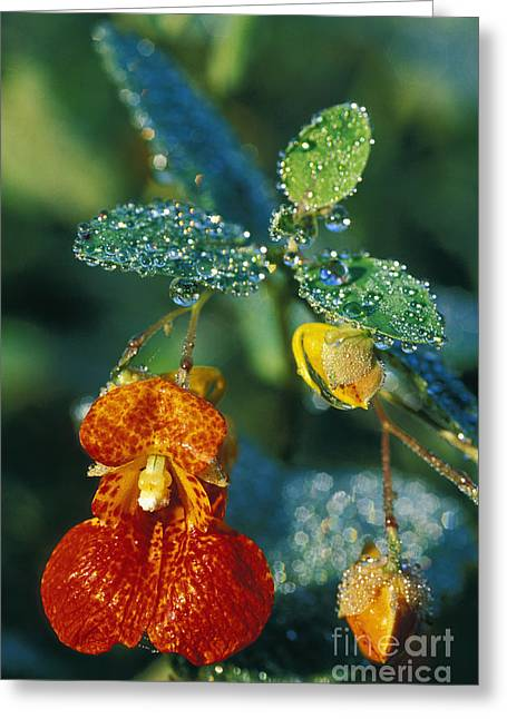 Dew Covered Flower Greeting Cards - Touch-me-not and Morning Dew - FS000358 Greeting Card by Daniel Dempster