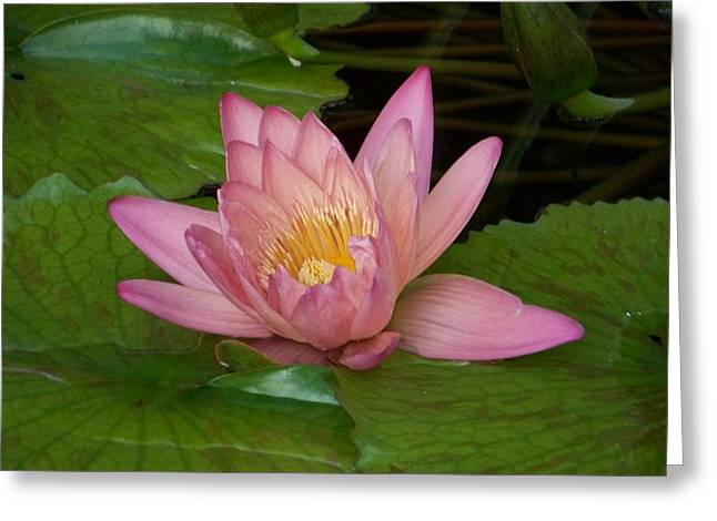 Water Lilly Greeting Cards - Touch of Pink Greeting Card by Karen Wiles