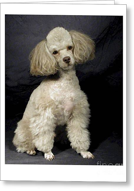 Toy Dog Greeting Cards - Toy Poodle - Miniature Poodle 337 Greeting Card by Larry Matthews