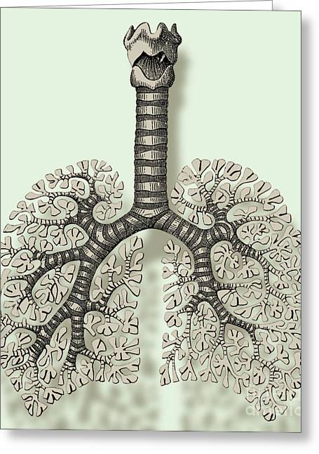 Respiration Greeting Cards - Trachea, Bronchioles, And Alveoli Greeting Card by Science Source