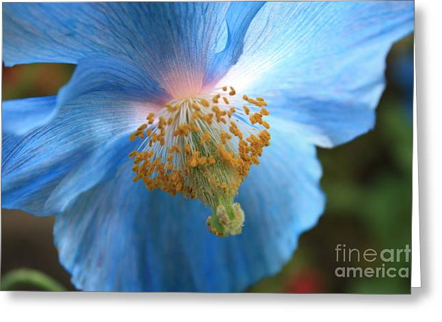 Sunlight On Flowers Greeting Cards - Translucent Blue Poppy Greeting Card by Carol Groenen