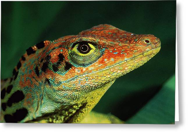 Transverse Anole Anolis Transversalis Greeting Card by Murray Cooper
